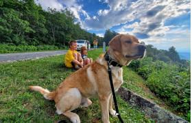 Large dog sitting on stone ledge overlooking Virginia's Blue Ridge Mountains